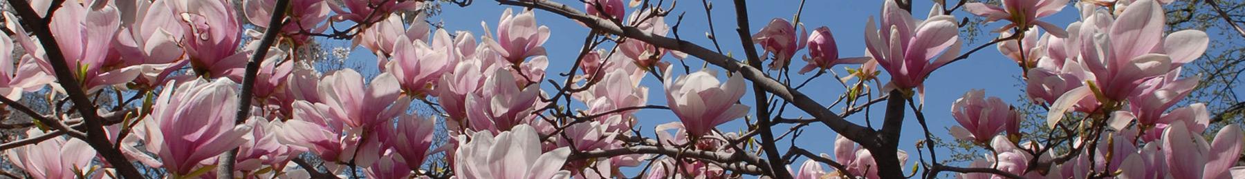 magnolias-central-park