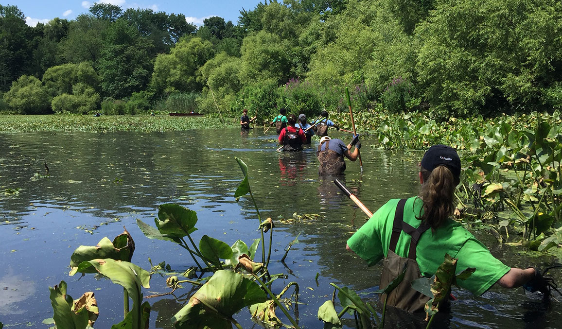 Volunteers in a pond harvesting water chestnuts